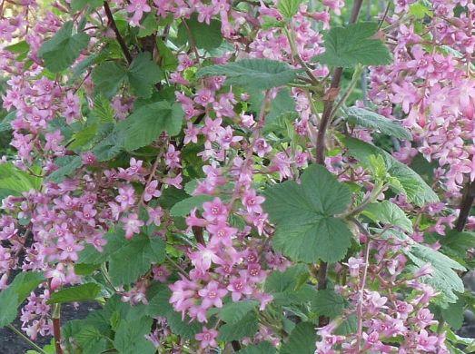 Ribes sanguineum 'Pink Rain'