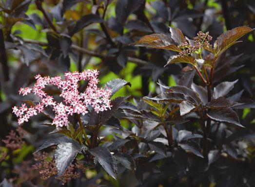 Sambucus nigra Black Beauty (�Gerda�)�