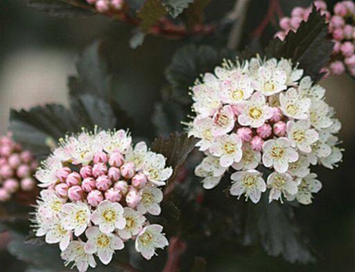 Physocarpus opulifolius Summer Wine�